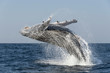 Humpback whale breaching during the annual sardine run along the east coast of South Africa.
