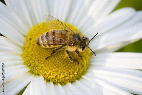 Honeybee working Montauk Daisy