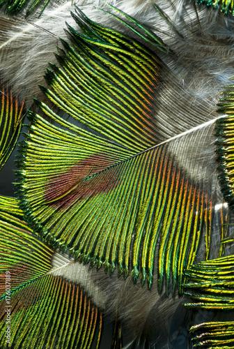 Aluminium Pauw Macro photo of beautiful and luminous green peacock feathers.