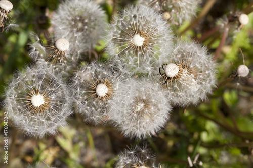 Fotobehang Paardebloemen dandelion seed
