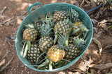 Division pineapple in baskets, planters Store Pineapple put in the basket, so be prepared to sell.