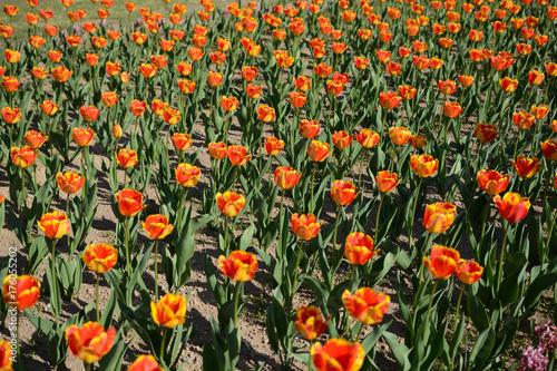 Fotobehang Tulpen オレンジ色と黄色のチューリップ畑