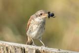 vogel mit insekt - 176057021