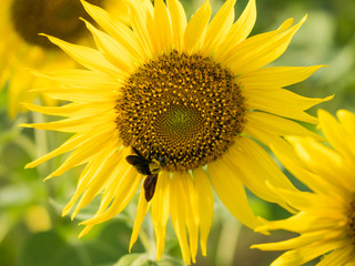 insect on sunflower