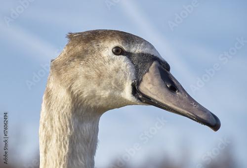 Fotobehang Zwaan Young Swan Closeup
