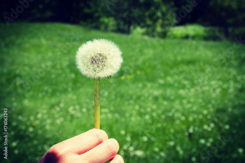 Fotobehang Paardebloemen Woman holds a dandelion and blows on it. Woman hand holding a dandelion against the green meadow. Vignette, hight contrast
