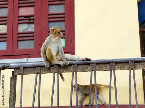 Fotobehang Aap Macaques