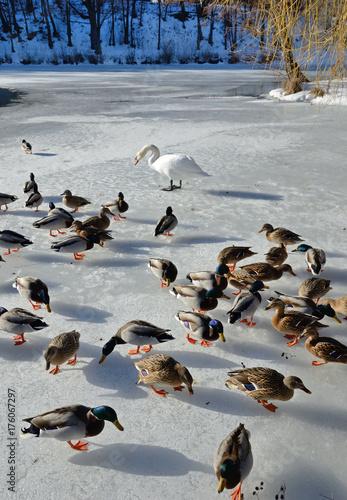 Fotobehang Zwaan Tamed wild ducks and a swan in the frozen pond