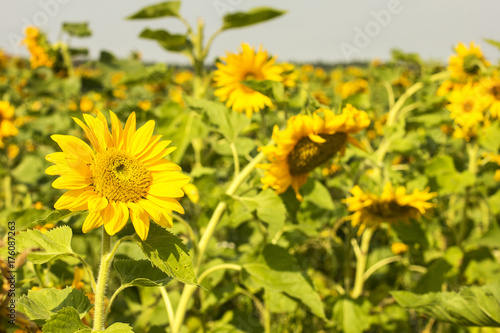 In de dag Geel Blooming Sunflowers Field