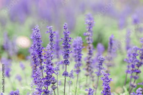 Fotobehang Lavendel Lavendel im Garten
