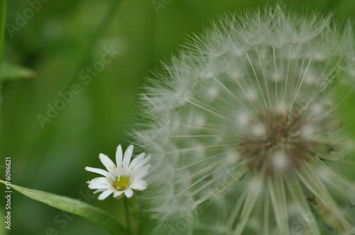 Fotobehang Paardebloemen 花