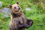 Brown bear (Ursus arctos) - 176100698