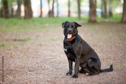 A black dog Poster
