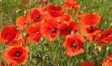 Poppy flowers. - 176101812