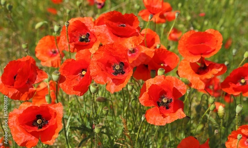Foto op Canvas Rood Poppy flowers.