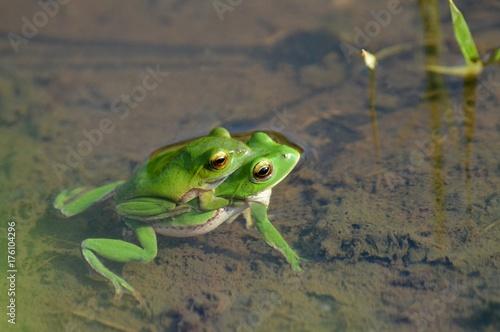 Fotobehang Kikker 田んぼの蛙