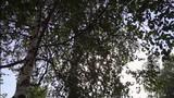 The sun shines through the birch grove in summer  - 176114210