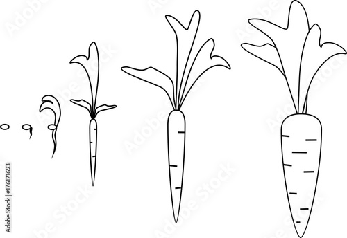 Carrot growth stages coloring pages