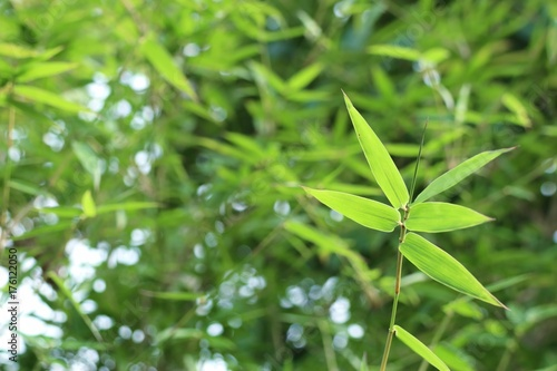 Papiers peints Bambou bamboo leaves