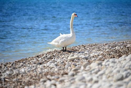 Fotobehang Zwaan Schwan am Mittelmeer, Spanien