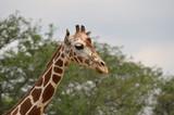 Giraffe - 176124632