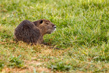 beaver sits on the grass - 176141205