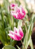 Pinke Tulpen - 176142255