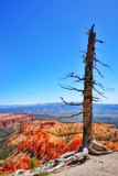 Old lonely tree in Bryce Canyon national park, Utah, USA - 176142268