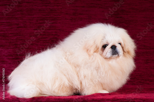Poster Pekingese puppy portrait at studio on red velvet background
