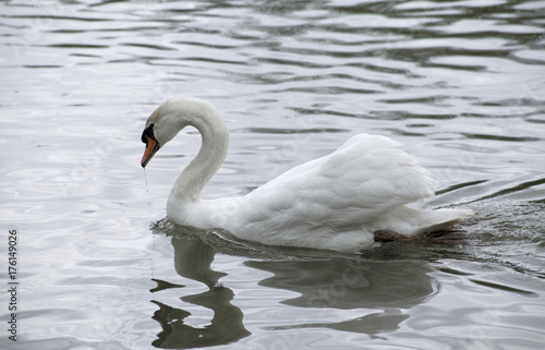 Fotobehang Zwaan Swan In a Lake