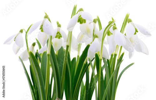 Fototapeta Snowdrops (Galanthus nivalis) on white background