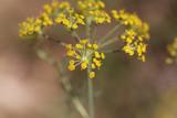 Dill (Anethum graveolens) flowers - 176150823