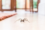 common house spider on a smooth tile floor seen from ground level in a kitchen in a residential home - 176152065