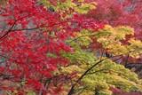 Autumn foliage of Kyoto, Japan - 176154048