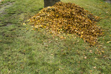 Pile of autumn leaves in front of a tree - 176158252
