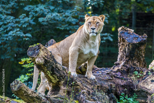 Aluminium Lion Löwin