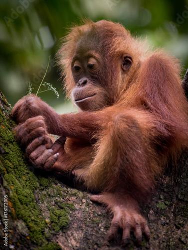 Naklejka Orangutang