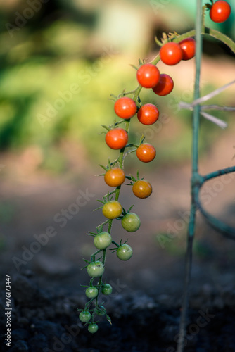 Foto op Plexiglas F1 Cherry tomatoes, F1 Sweet Million, ripening on the vine in natural environment. Tomatoes without gmo.