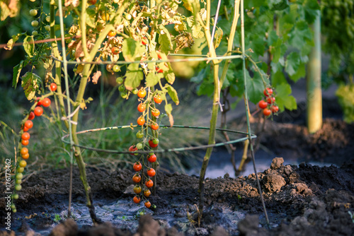 Tuinposter F1 Cherry tomatoes, F1 Sweet Million, ripening on the vine in natural environment. Tomatoes without gmo.