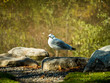 A common mew gull sits beside a pond on a crisp, sunny autumn day