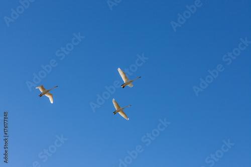 Fotobehang Zwaan Whooper swans fly over in blue sky