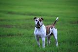 American bulldog outside - 176179013