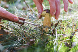 Mushroom hunting, gathering mushrooms in the wild. Cut the mushroom with a special knife. - 176199043