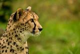 Porträt von der Seite eines Geparden - 176202205