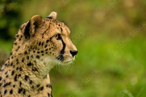 Porträt von der Seite eines Geparden Poster