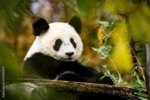 Fotobehang Panda Panda blickt zur Kamera