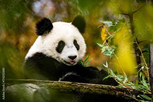Plexiglas Panda Großer streckt die Zunge raus