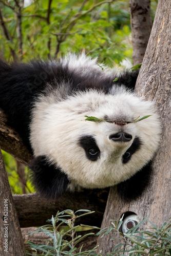 Panda hängt kopfüber im Baum Poster