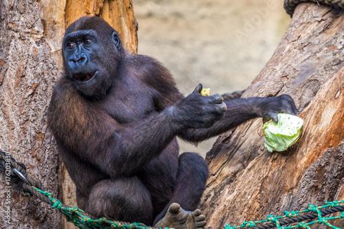 Fotobehang Aap Schimpanse beim fressen