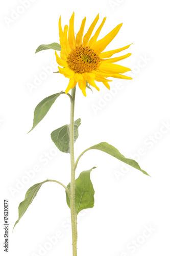 single small sunflower on white